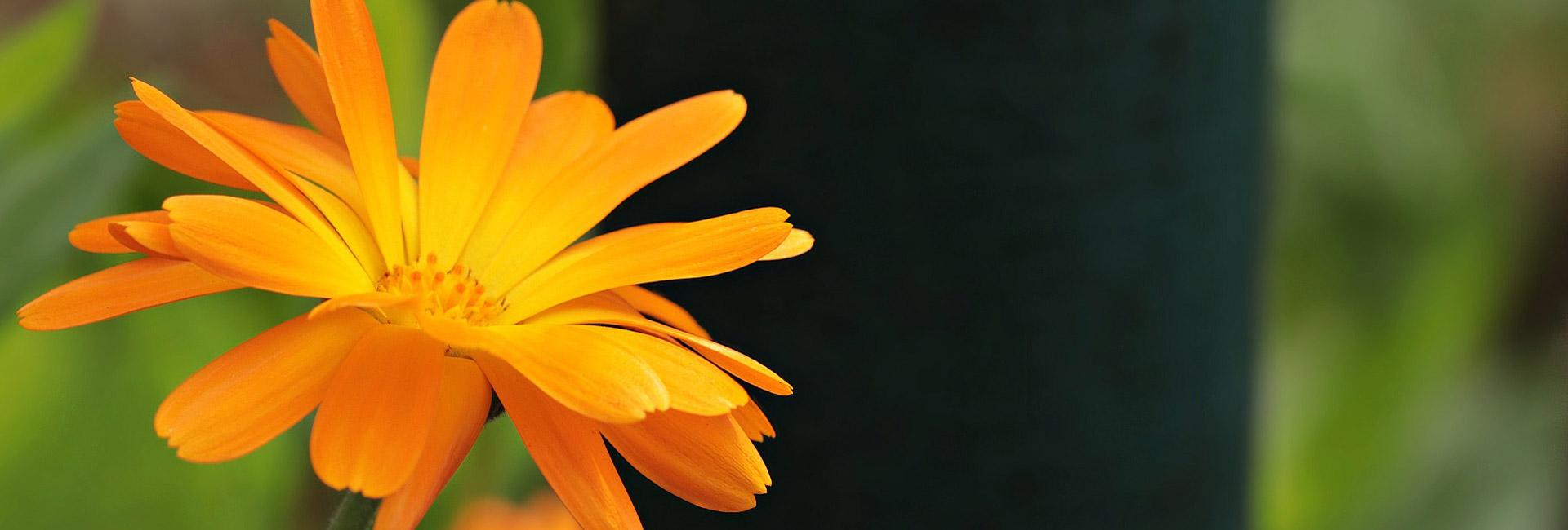 Orange Blume - Pflegedienst Simbach